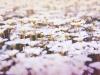 цветущий ковер