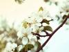 яблонь цвет